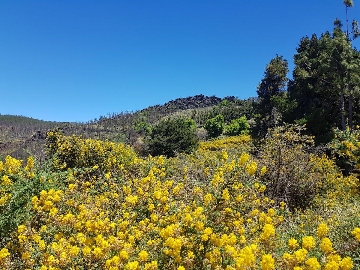 Sommer auf Gran Canaria: Blütenpracht in den Bergen